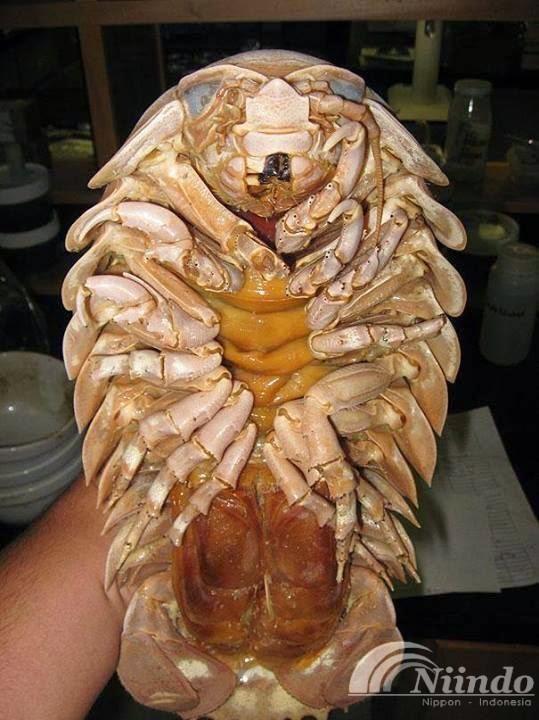 isopoda raksasa