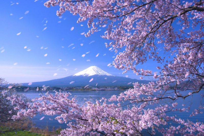 Ingin Menikmati Keindahan Bunga Sakura Saat Berlibur Ke Jepang