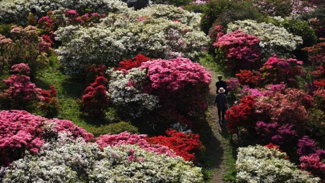 SUGOI!!! Menikmati Keindahan Hamparan Bunga Azalea di Taman Nagushiyama, Jepang