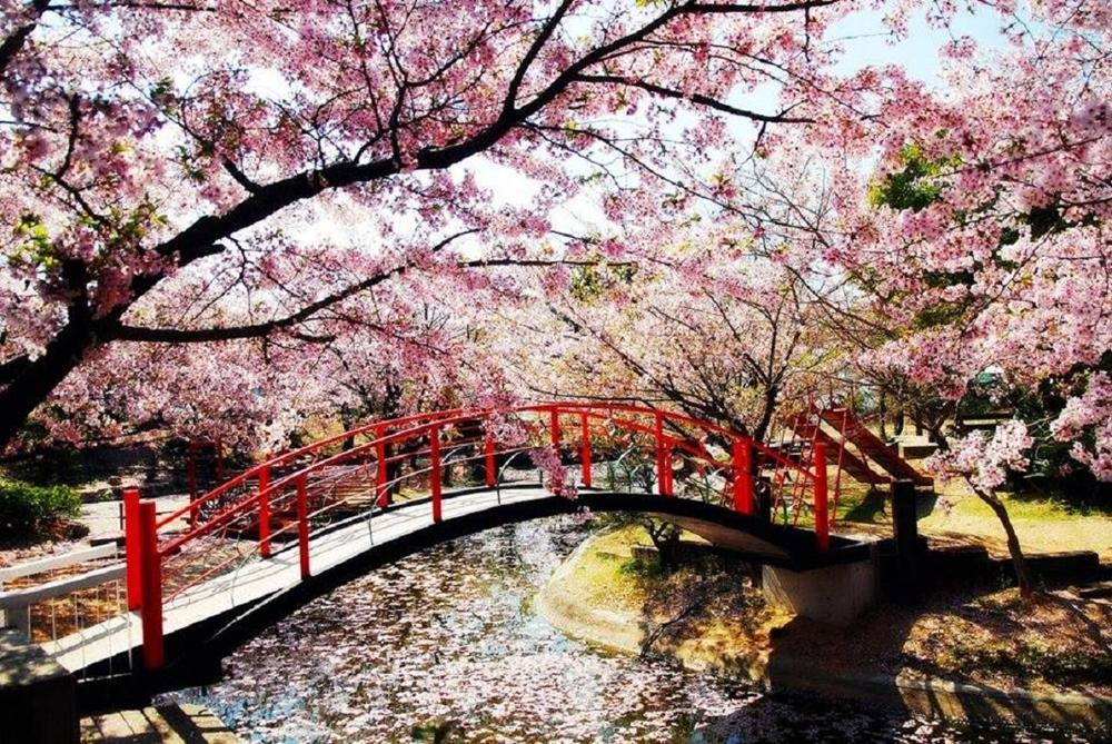 85+ Gambar Pemandangan Bunga Sakura Indah Paling Bagus