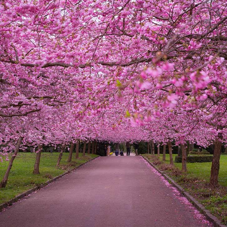 Ini Perkiraan Jadwal Mekar Bunga Sakura Di Jepang Tahun 2019 Niindo